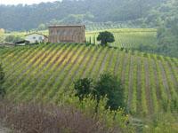 Palazzone Vineyard