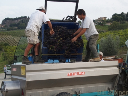 Unloading grapes at the harvest